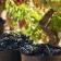 El Consejo Regulador de Rioja califica como 'Buena' la cosecha 2018