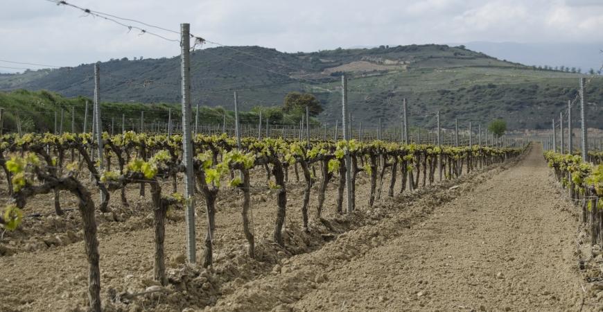 Regresa la vida a los viñedos
